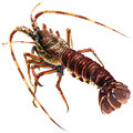 Raw fresh crayfish closeup isolated, watercolor illustration on white Royalty Free Stock Photo