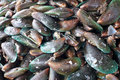 Raw and fresh mussels Royalty Free Stock Photo