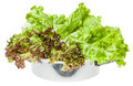 Raw green leaves of lollo rosso and leaf lettuce in steel pan isolated on white background Stock Image