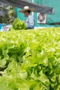 Raw Green Salad Lettuce Growing in Plastic Pipe in Hydroponics O Royalty Free Stock Photo