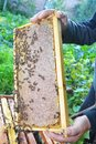 Raw Honeycomb. Honeycomb frame with honey bees in the beekeeper hand. Royalty Free Stock Photo