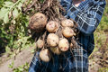 Raw potatos in a vegitable garden stock photo Stock Photography