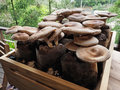 Raw shiitake mushrooms Royalty Free Stock Photo