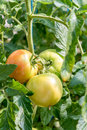 Raw tomatoes on the tree Royalty Free Stock Photo