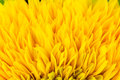 Ray flowers of sunflower, Helianthus annus Royalty Free Stock Photo