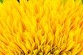 Ray flowers of sunflower, Helianthus annus Royalty Free Stock Photo