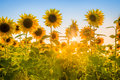 Rays of the rising sun breaking through sunflower plants field. Royalty Free Stock Photo