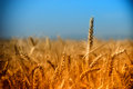 Rays of the setting sun illuminates the field of wheat in early evening Royalty Free Stock Images
