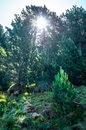 Rays of sun coming through the branches of the fir tree Royalty Free Stock Photo