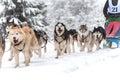 Raza del trineo del perro Foto de archivo libre de regalías