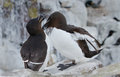 Razorbill alca torda razor bill Stock Photography
