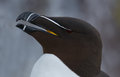 Razorbill alca torda razor bill portrait Stock Photo