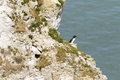 Razorbill on the cliffs at bempton cliffs breeding colony england Royalty Free Stock Photos