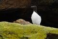 Razorbill perched on a cliff Stock Photo