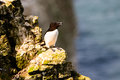 Razorbill perched on a rock looking out to sea Royalty Free Stock Photos