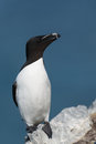 Razorbill on a rock in northern scandinavia Royalty Free Stock Photography