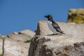 Razorbill a standing on the rocks Stock Photo