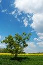 Árbol solitario en un campo Fotografía de archivo