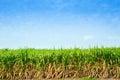 Árboles de la caña de azúcar Fotografía de archivo