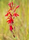 Rd cardinal flower scarlet red lobelia cardinalis Royalty Free Stock Photo