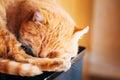 Röda kitten cat sleeping hemma Royaltyfria Bilder