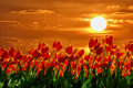 Read tulips red growing under a beautiful sunset Stock Photography