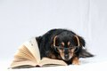 Reading dog one intelligent black a book on white background Royalty Free Stock Photography