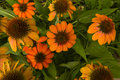 Fall Background: Orange Coneflowers Royalty Free Stock Photo