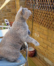 Ready for launch photo of a british shorthair pedigree cat to herself from the chair in the garden photo taken on th june Stock Images