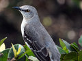 Ready for my closeup extreme close look at a northern mockingbird perching on a bush in south florida Royalty Free Stock Photography