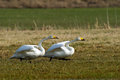 Ready steady go the whooper swans cygnus cygnus are to in uppland sweden Royalty Free Stock Photos