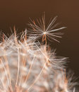 Ready to fly a single dandelion seed about to separate from the clock lit by lare evening sun in yellow and orange hues Stock Image