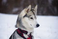 Ready to jump dog breed siberian husky Royalty Free Stock Photo