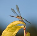 Ready to pounce dragonfly jump off a yellow leaf and eat Royalty Free Stock Photo