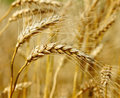 Ready wheat. Stock Photo