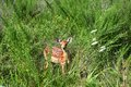 Baby fawn buck Royalty Free Stock Photo