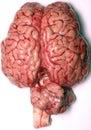 Skutečný mozek