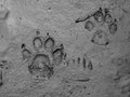 Real dog footprint Royalty Free Stock Photography
