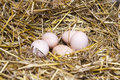 Real the hen roost with eggs. Royalty Free Stock Photo