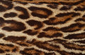 Real leopard fur background of texture Royalty Free Stock Image
