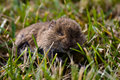 Real mouse in the grass Royalty Free Stock Image