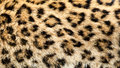 Real North Chinese Leopard Skin Background Royalty Free Stock Photo