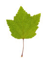 Real red currant leaf isolated tree on the white background Stock Image