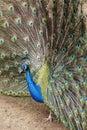 Real Turkey Royalty Free Stock Image