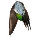 Real wild duck bird wing angel brown grey green blue white background Royalty Free Stock Photo