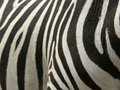 real Zebra stripes Royalty Free Stock Photo