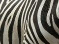 real Zebra stripes Royalty Free Stock Photo