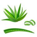Realistic Detailed Aloe Vera Green Plant. Vector