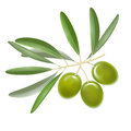 Realistic Detailed Color Olives Branch with Leaves. Vector