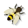 Realistic honey bee isolated on white background. Royalty Free Stock Photo